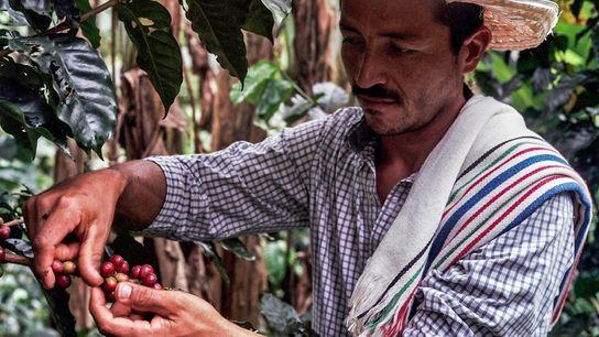 Don Fernando, un agricultor de Caquetá, no dejó de cultivar café a pesar de vivir en ...