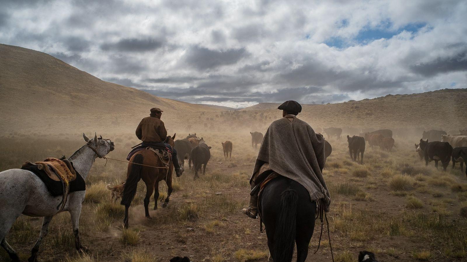 En la provincia argentina de Neuquén, dos gauchos pastorean vacas Angus-Hereford desde terrenos cercanos a las ...