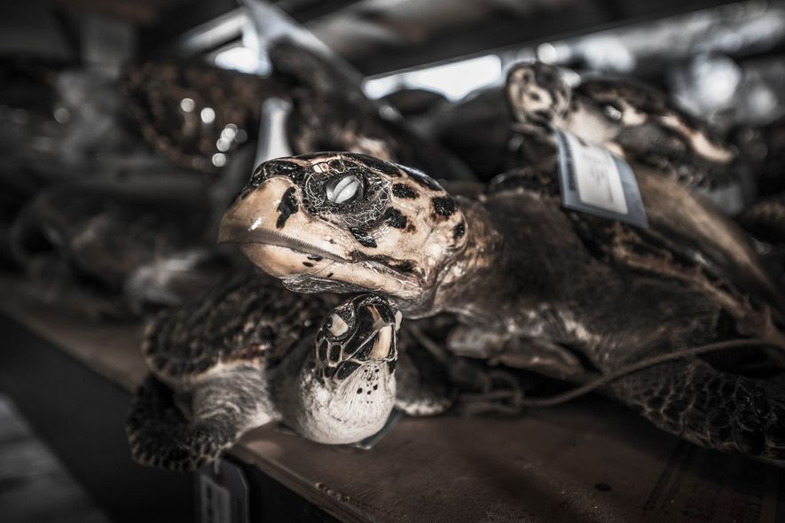 Nearly nine million hawksbill sea turtles were hunted between 1844 and 1992, researchers say.