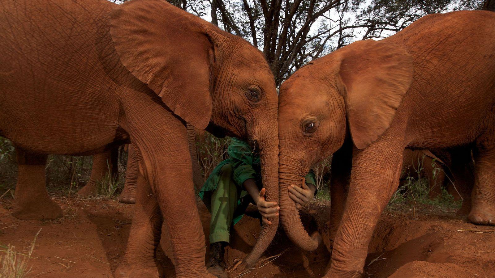 Debido al gran tamaño y la longeva vida de los elefantes, la tasa de cáncer en ...