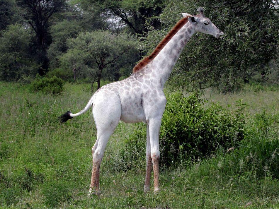 Dos raras jirafas blancas asesinadas en Kenia