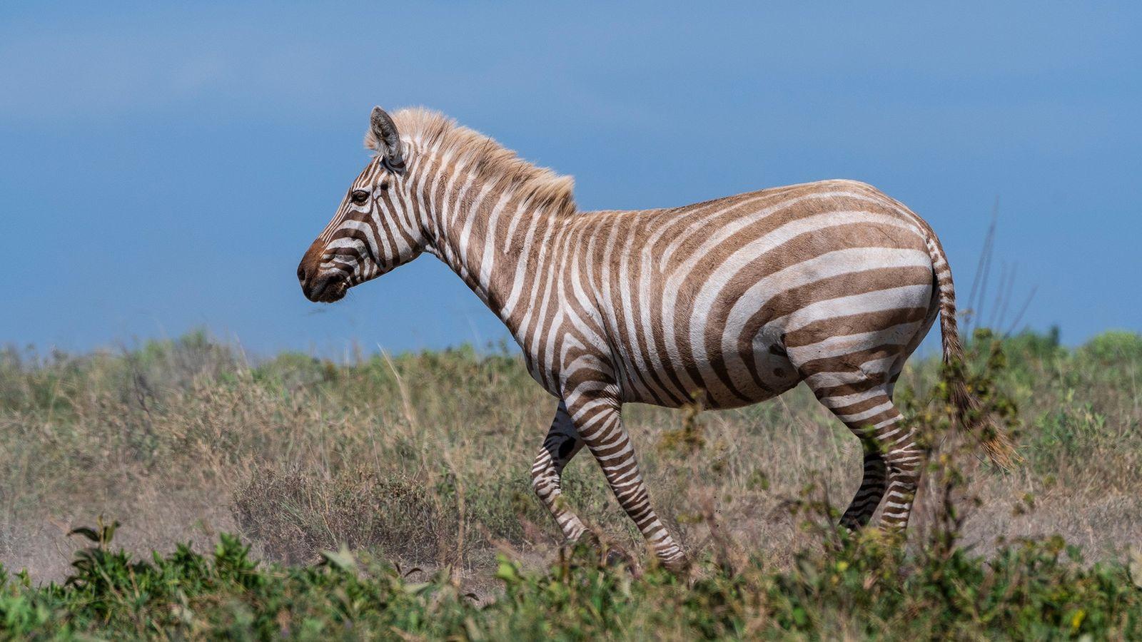 Una rarísima cebra con albinismo parcial camina por un valle del parque nacional del Serengueti. Algunas ...