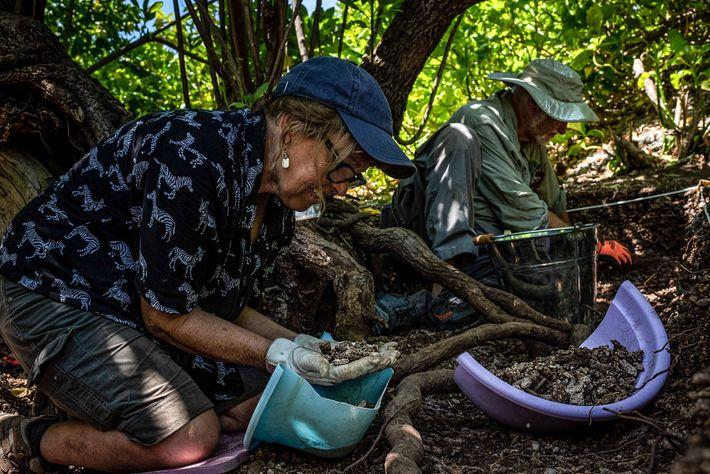 Los arqueólogos Dawn Johnson y Tom King buscan objetos y fragmentos óseos bajo un árbol en ...