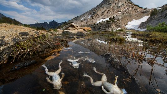 Agente patógeno causó la disminución de unas 501 especies de ranas y salamandras