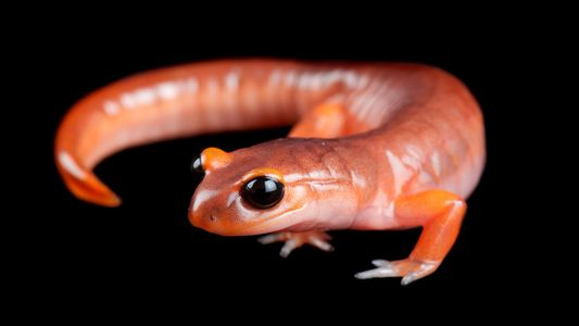 La mitad de todas las especies de anfibios podría estar en riesgo de extinción