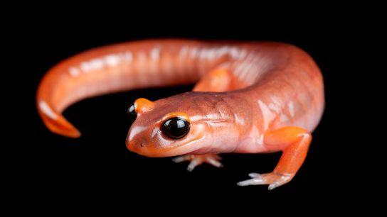 "Una salamandra ensatina (""Ensatina eschscholtzii eschscholtzii"")."