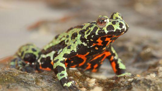 Antiguo hongo está aniquilando cientos de especies de anfibios