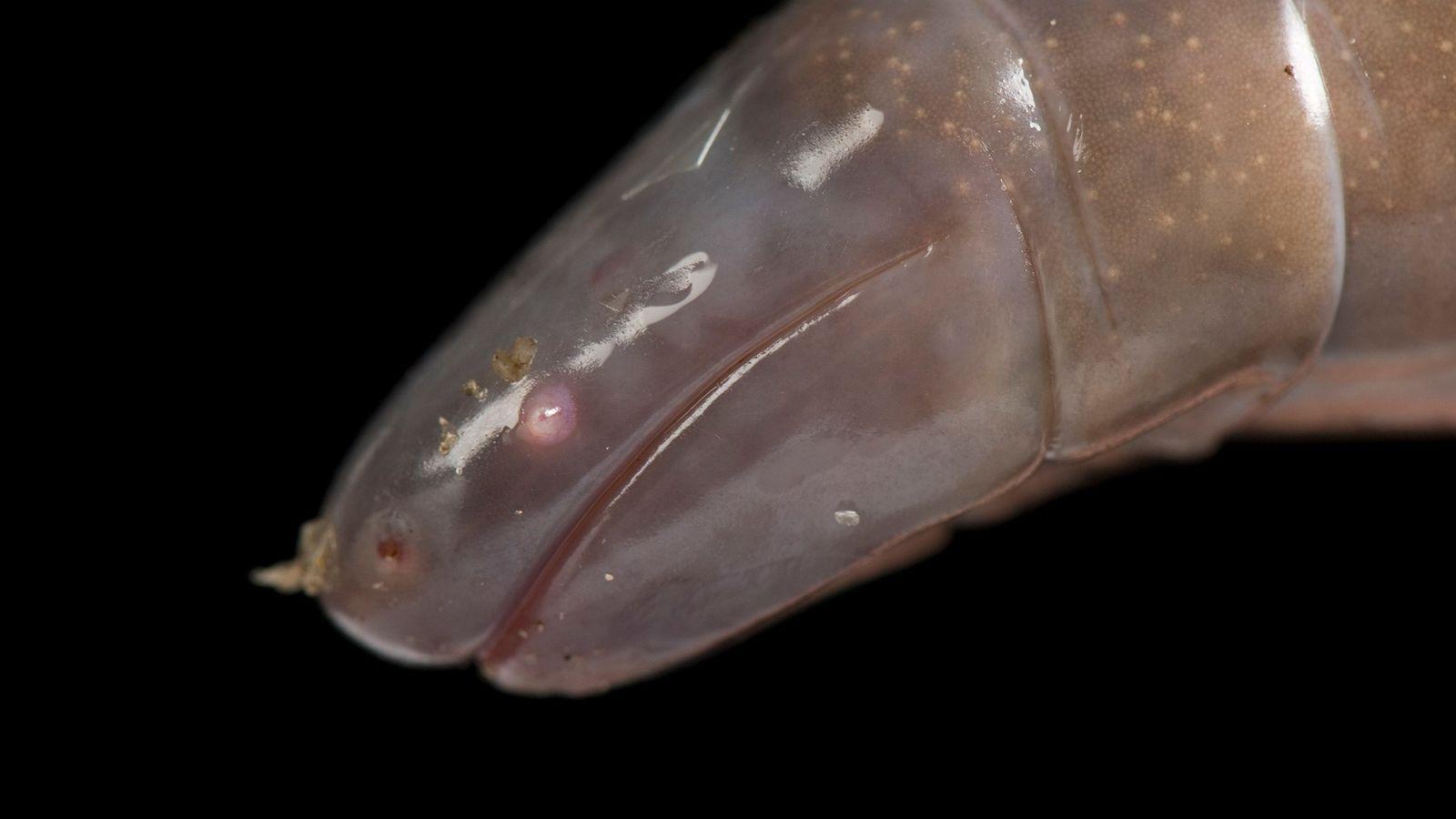 LaDermophis mexicanus(en la foto, un individuo del Zoo de St. Louis en Misuri) es una de ...