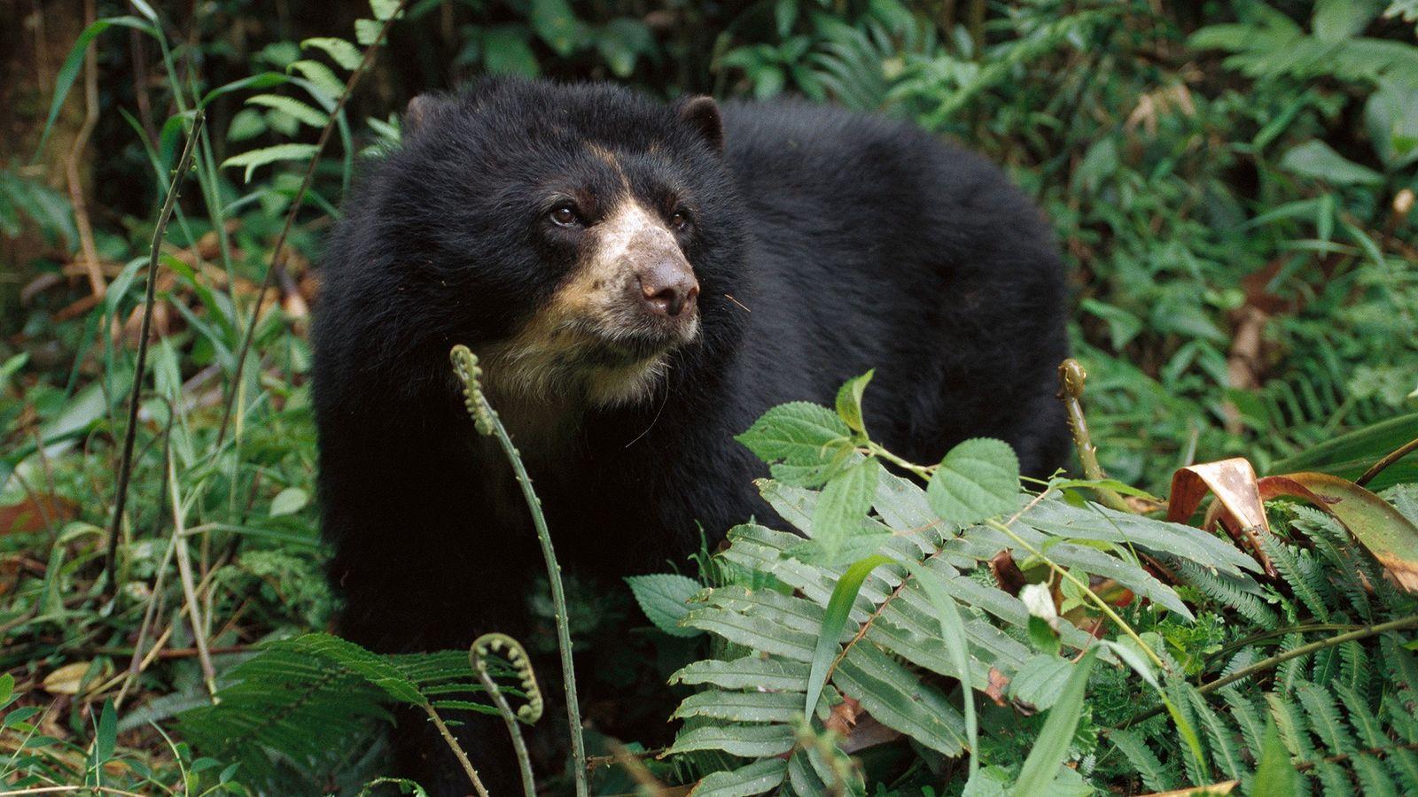 Los osos de anteojos, también llamados osos andinos, son asesinados ilegalmente en Perú por sus partes ...