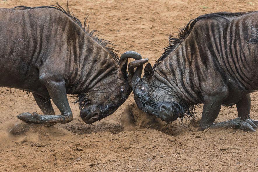 Dos ñus golpean sus cuernos.