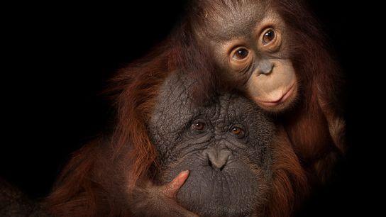 Mientras la pequeña orangután Aurora se acurruca con la madre adoptiva Cheyenne en el zoológico de ...