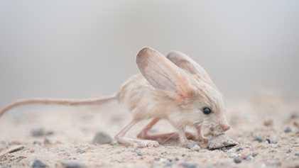 Este animal tiene las orejas más grandes del mundo (en relación con su tamaño)