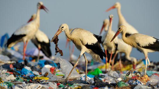 Las cigüeñas blancas se alimentan en un vertedero en España. La cantidad de basura es tal ...