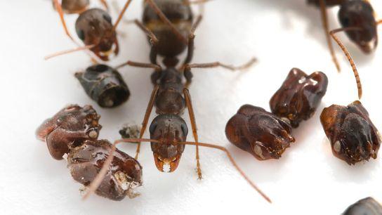 Esta hormiga originaria de Florida (Formica Archboldi) recolecta los cráneos de sus enemigos, pero los científicos ...