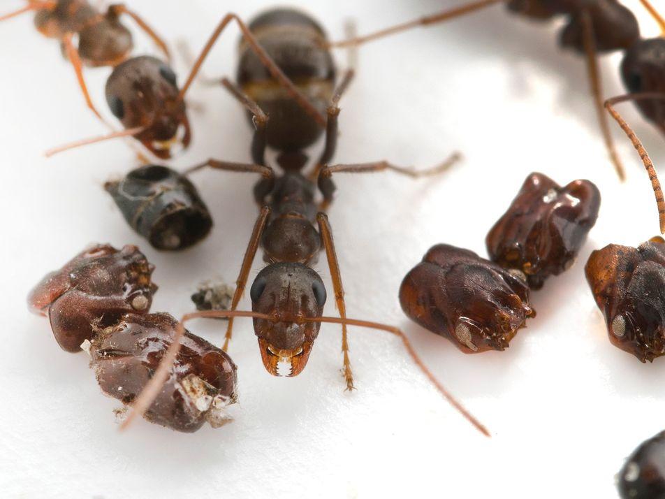 Hormigas que decoran sus nidos con las cabezas de sus enemigos