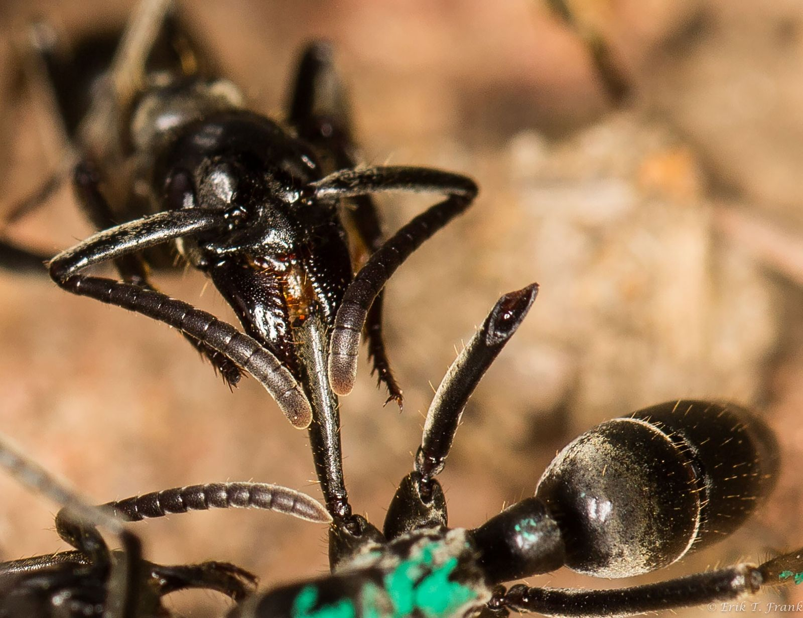 Las termitas soldado se agarran de la cabeza y las patas traseras de la hormiga durante ...
