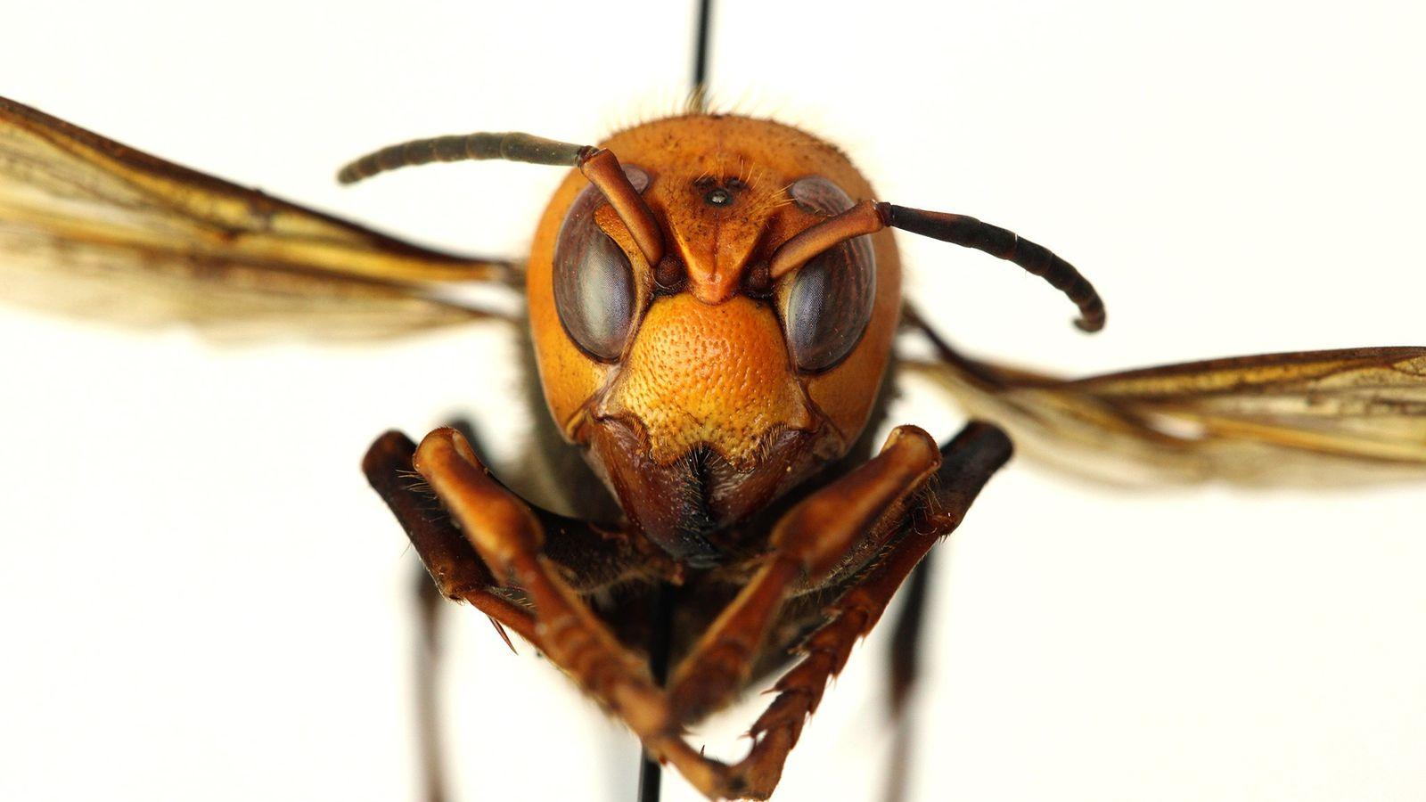 Avispones gigantes asiáticos, las avispas más grandes del mundo, han sido vistos en el estado de ...