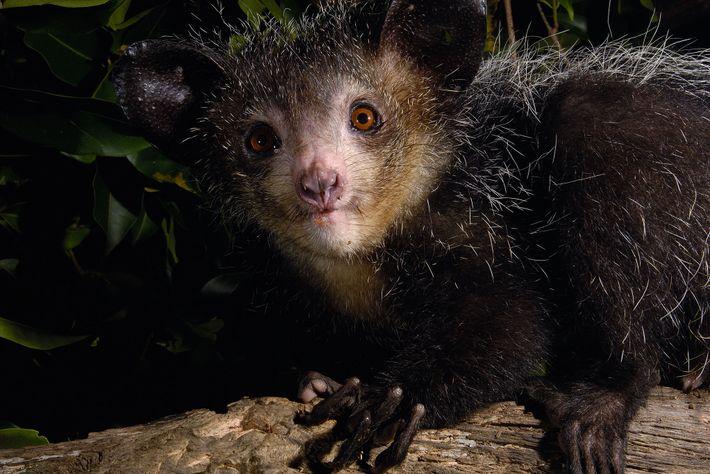 Los aye-ayes tienen una mezcla de características peculiares, como orejas enormes, colas peludas, dientes de roedores ...