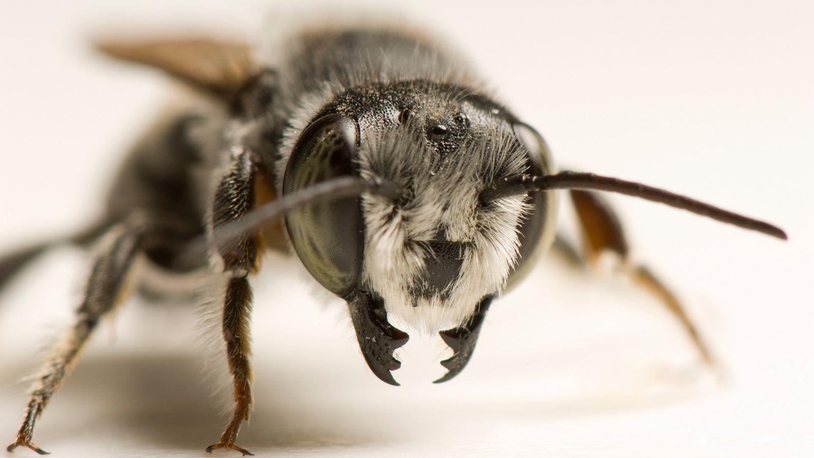 Retrato de una abeja cortadora de hojas, la especie que se cree que está utilizando plástico ...