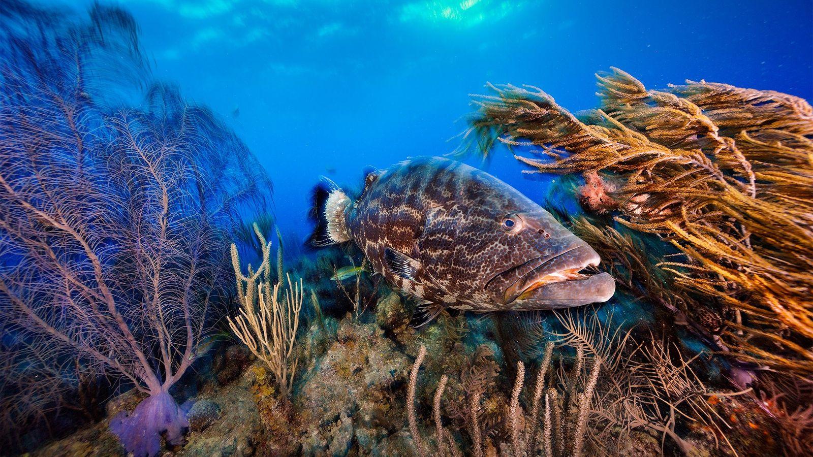 Un mero negro nada por un jardín de coral en Belice. El país está tomando nuevas ...