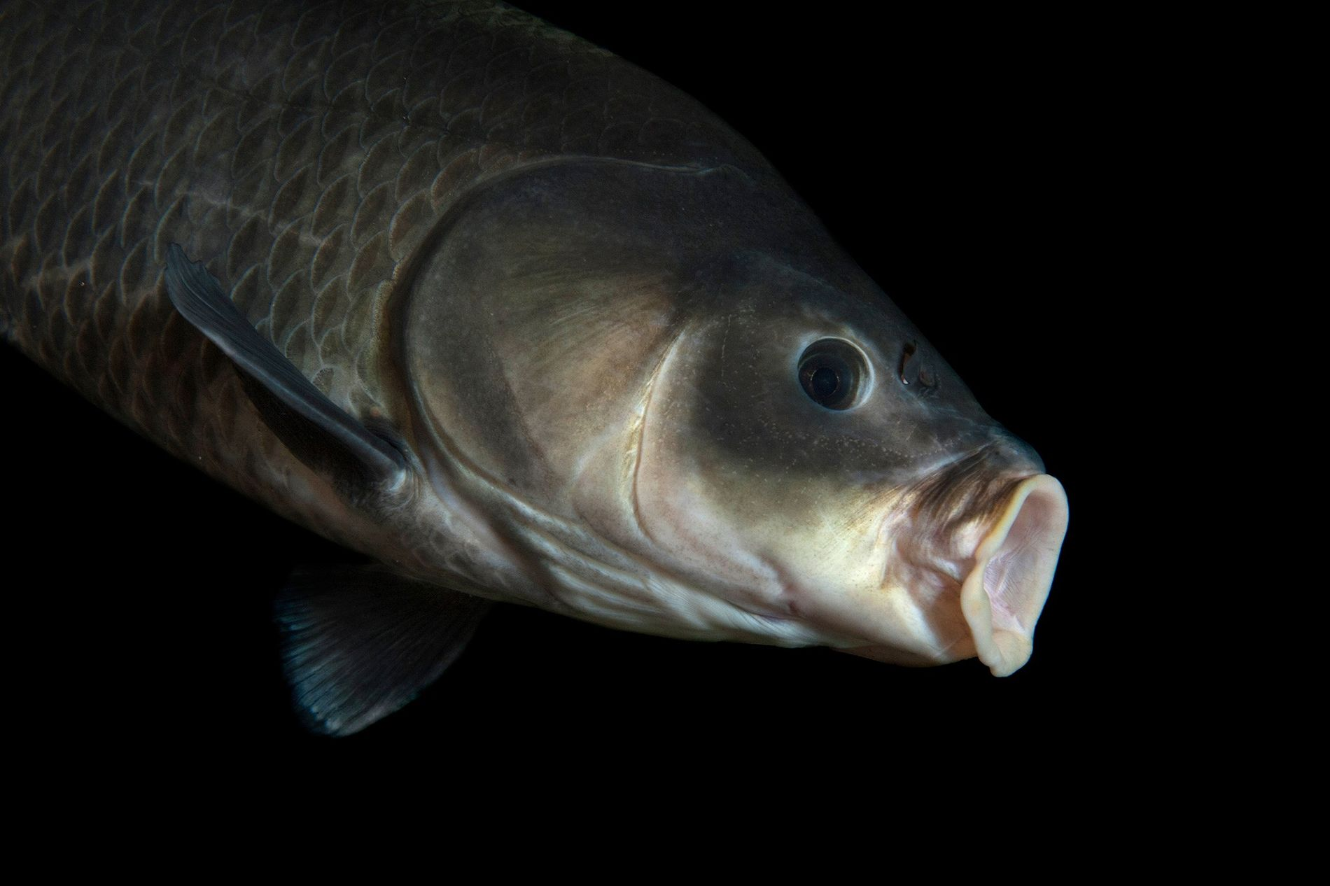 """Este """"Ictiobus cyprinellus"""" fue fotografiado en el Gavins Point National Fish Hatchery and Aquarium, en Dakota ..."""