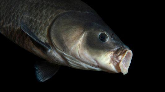 Un pez de 112 años bate récord de longevidad
