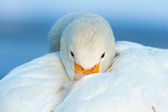 Cisne cantor. Hokkaido, Japón