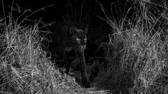 Un extremadamente raro leopardo negro camina por Laikipia Wilderness Camp en la región central de Kenia ...