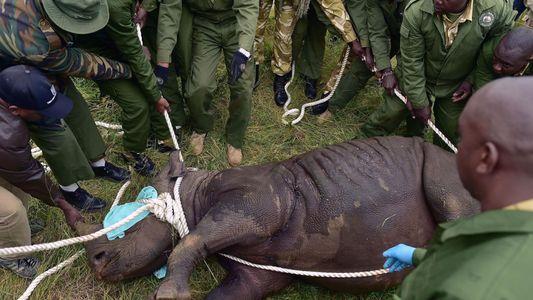 Kenia: mueren 8 rinocerontes negros luego de ser trasladados a un nuevo parque