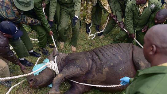 Los funcionarios del Kenya Wildlife Service (Servicio de Vida Silvestre de Kenia) se preparan para cargar ...