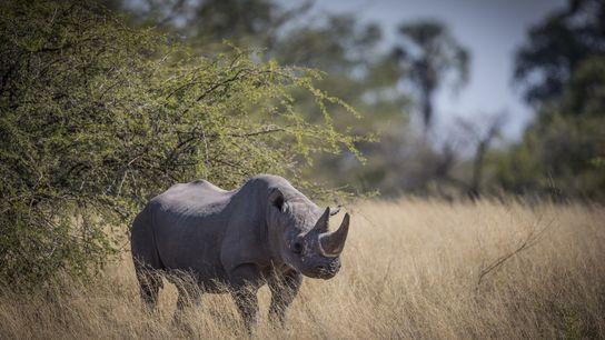 Los rinocerontes negros están en peligro crítico y son atacados por sus cazadores furtivos en el ...