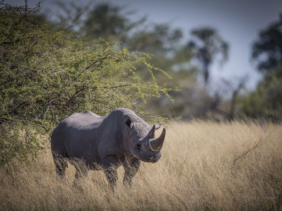 Botswana está evacuando rinocerontes negros en medio de una amenaza de caza furtiva