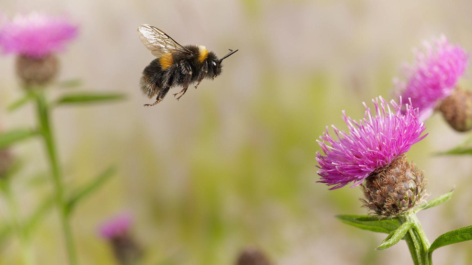 Un abejorro con cola vuela entre las flores en Inglaterra. Muchas especies de abejorros están disminuyendo debido ...