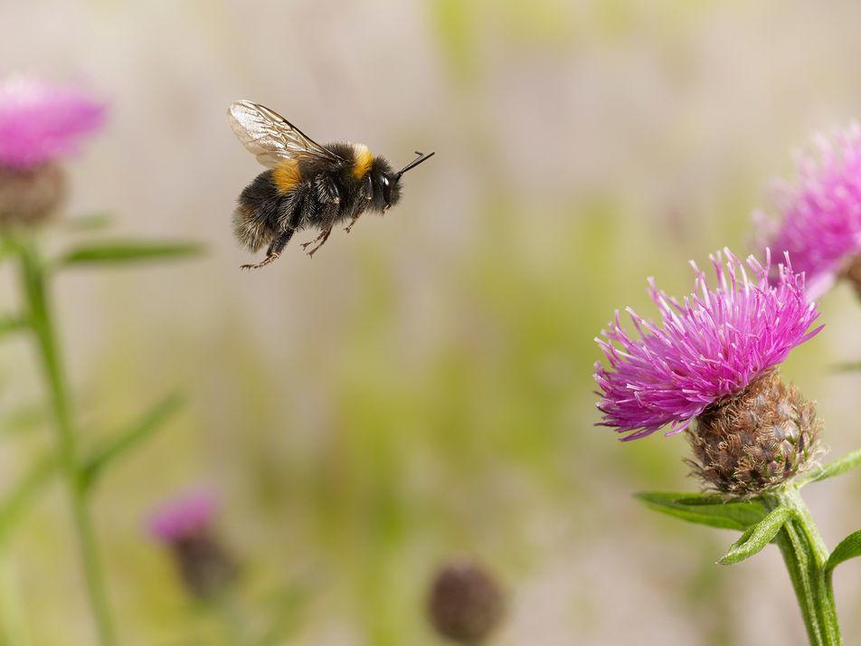Científicos descubren que los abejorros muerden las plantas para que florezcan antes