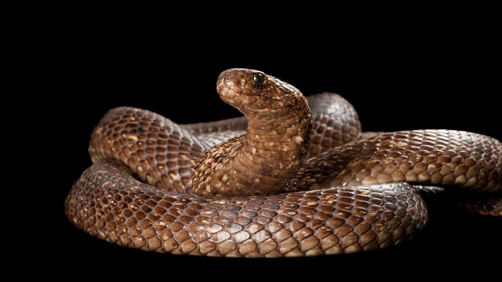 """Las cobras del Cabo (""""Naja nivea"""") pueden alcanzar hasta 1,5 metros de largo, poseen un veneno ..."""