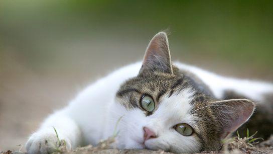 Se sabe que los gatos domésticos comunican a sus dueños lo que quieren.