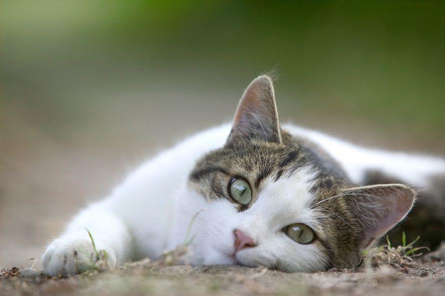 Descubre por qué los gatos odian las caricias en el vientre