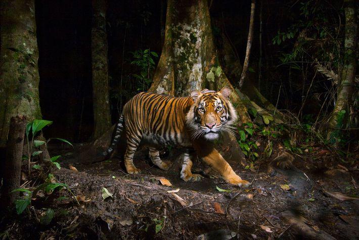 """El tigre de Sumatra (""""Panthera tigris sumatrae"""") es una especie en peligro crítico, amenazada por la ..."""