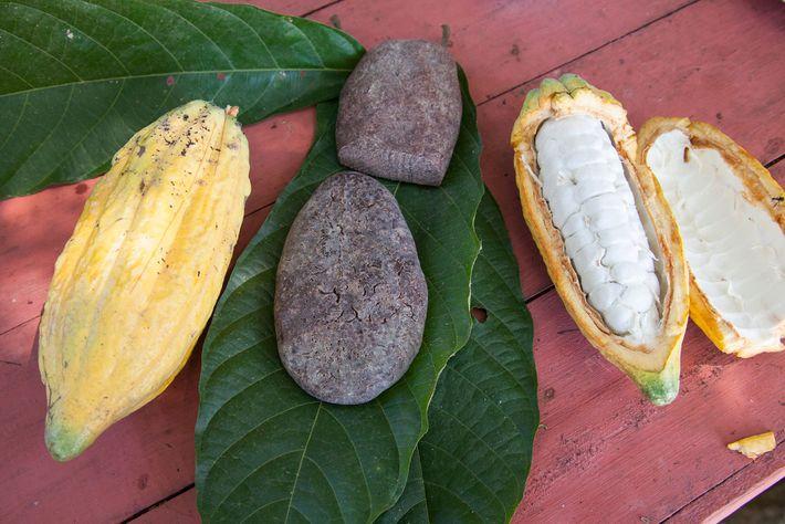 Existen pruebas de que en la antigua cuenca amazónica, las personas procesaban y disfrutaban del cacao ...