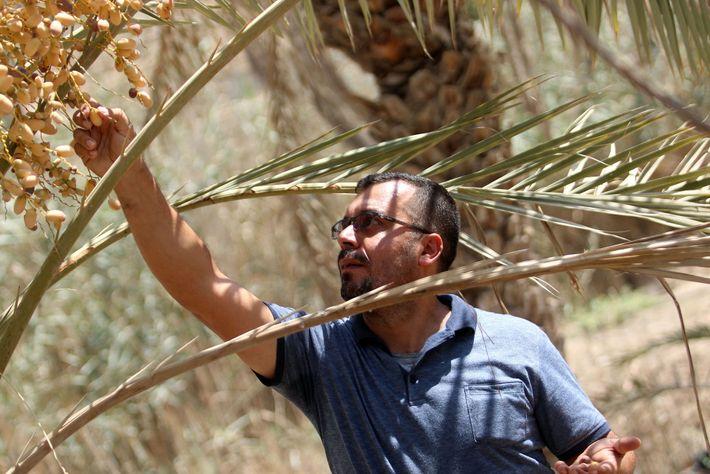 El agricultor iraquí Raed al-Jubayli revisa las fechas en su vivero de palmeras en la ciudad ...