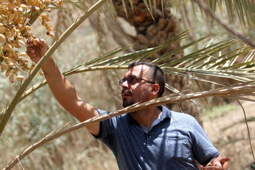 El agricultor iraquí Raed al-Jubayli revisa las fechas en su vivero de palmeras en la ciudad de Basora, en el sur de Irak. Los agricultores iraquíes también enfrentan desafíos, ya que su sabiduría agrícola tradicional ya no es cierta.