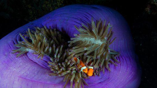 Dos peces payaso en su anémona en las islas Filipinas.