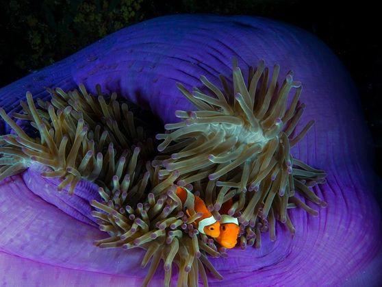 Los peces payaso de vivos colores, protagonistas en Buscando a Nemo