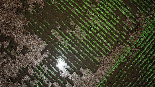 Las plantas de soja se encuentran en un campo inundado cerca de Wyanet, Illinois, el martes ...