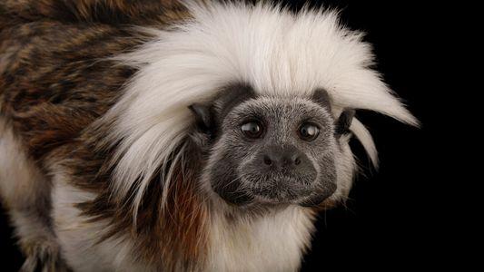 Mono Tití cabeciblanco