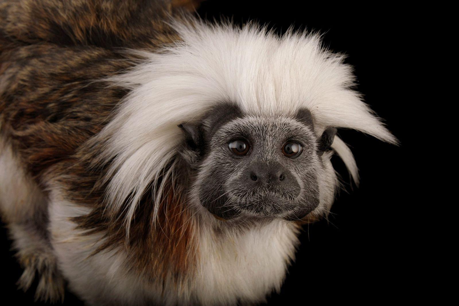 El mono tití en peligro de extinción vive en una pequeña área del noroeste de Colombia ...