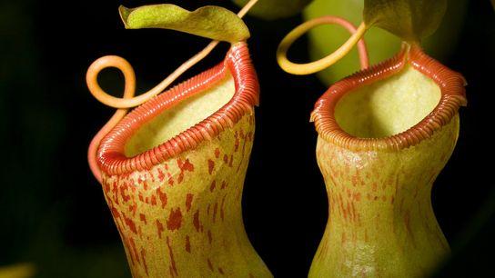 """Las plantas jarro del género """"Nepenthes"""" son carnívoras y tienen una sorprendente relación simbiótica con las ..."""
