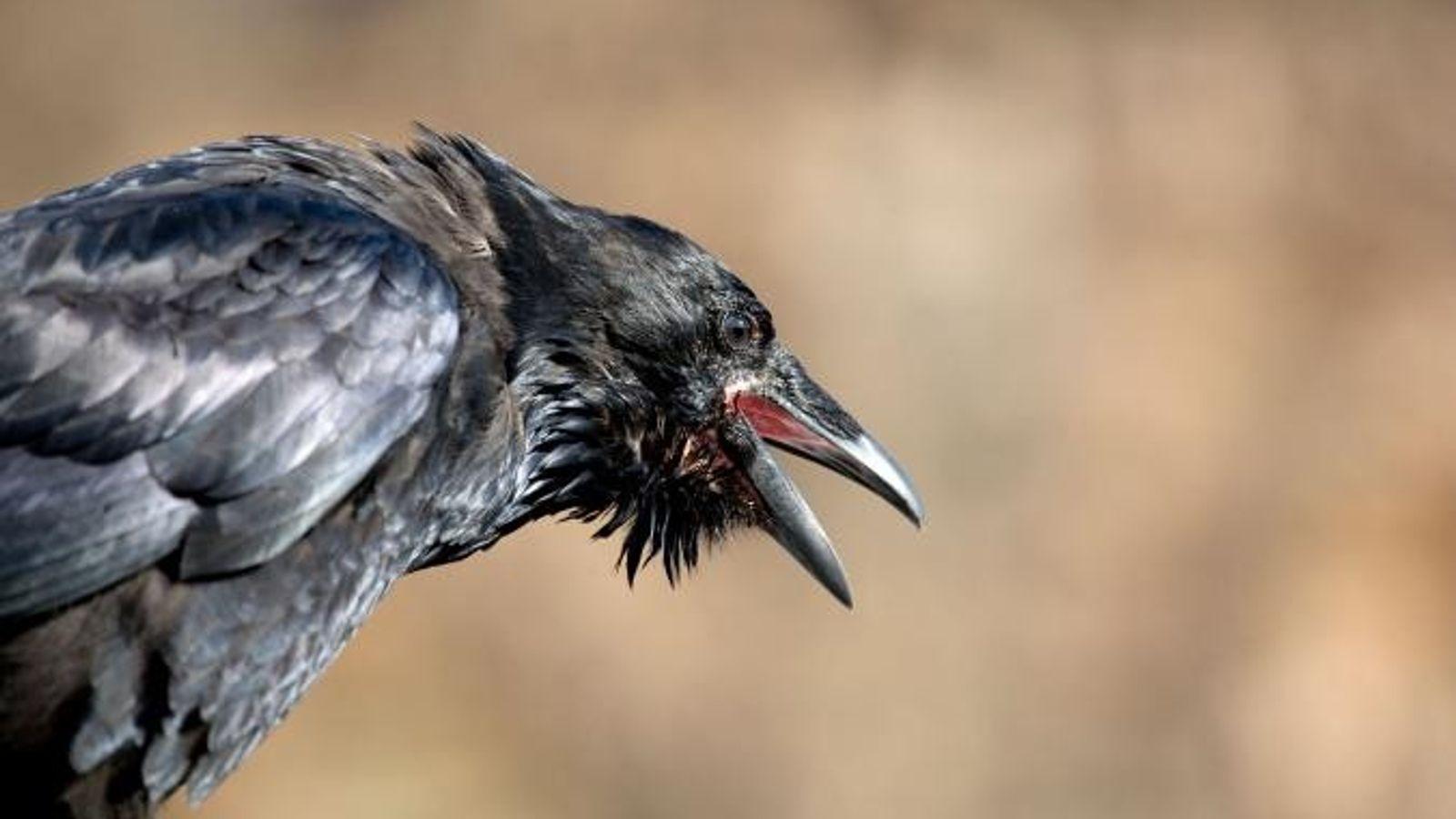 Los cuervos norteamericanos son más pequeños que los cuervos comunes, pero son más agresivos, y atacan ...