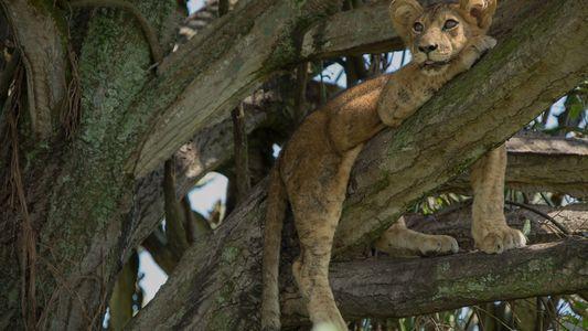 Ocho cachorros de león mueren supuestamente envenenados