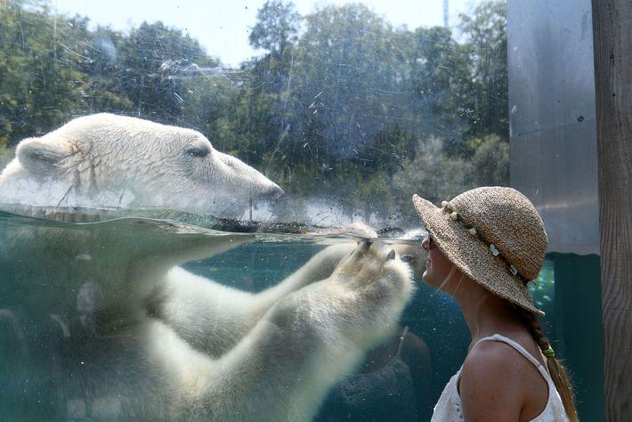 Un visitante observa un oso polar en un zoo de Francia desde detrás del cristal. En ...